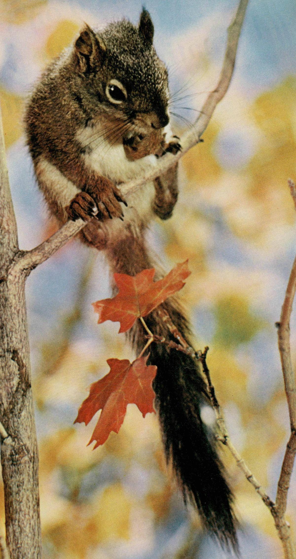 Un écureuil en automne... Cité de la page de couverture de la revue Radio Je vois tout Télévision du 20 mars 1959, No 12