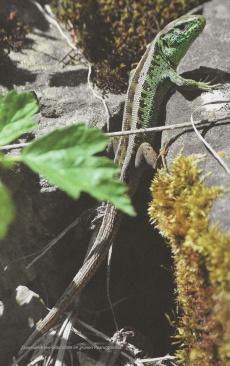 Un lézard des souches (mâle) avec sa robe verte d'accouplement, une photo de Petra Graf, Bienne, citée d'une publication de la «Albert-Köchlin-Stiftung» (http://www.aks-stiftung.ch/stiftung), cliquer sur la photo pour une vue agrandie et plus de détails